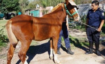 Operativo especial : Buscan retirar los caballos sueltos de la vía pública