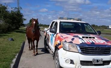 Retiran más de 30 caballos sueltos en la vía pública y sancionan a sus dueños