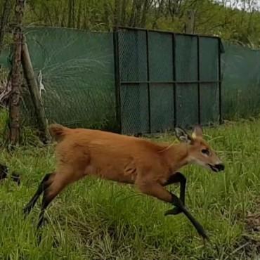 Un nuevo ciervo de los pantanos fue devuelto a la naturaleza en el Delta del Paraná