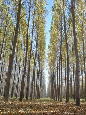 La industria local de la madera de Salicáceas del Delta de Campana